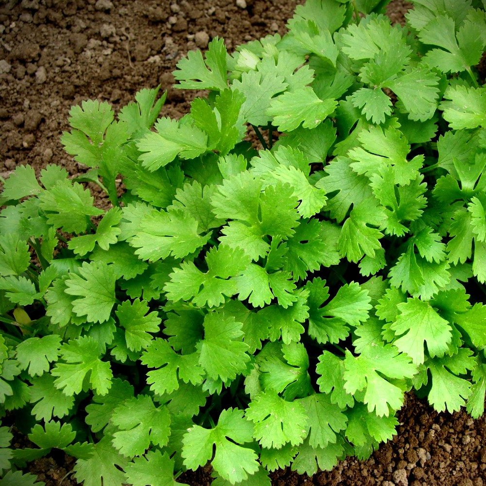 3 Most Important Features Of Coriander As A Regular Plant