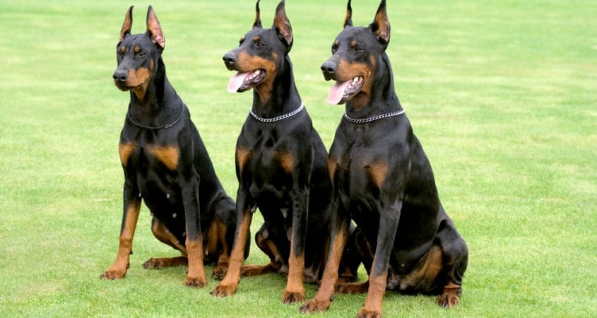 Guard Dogs – Can You Train Any Breed?